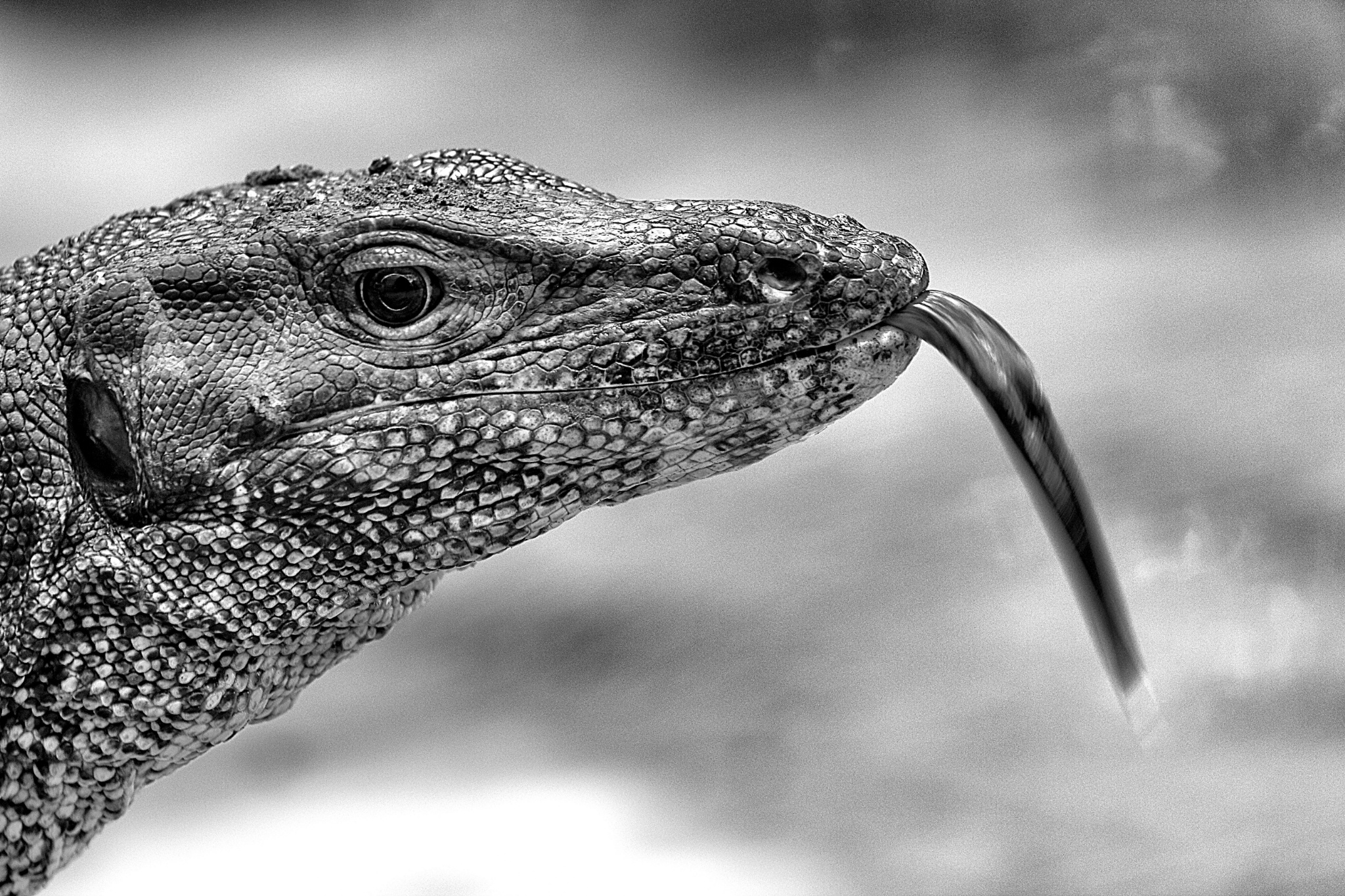 The Water Monitor Lizards Of Sungei Buloh Thesmartlocal