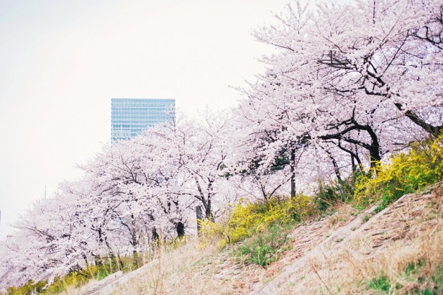 The Smart Local - Yeouido park cherry blossoms