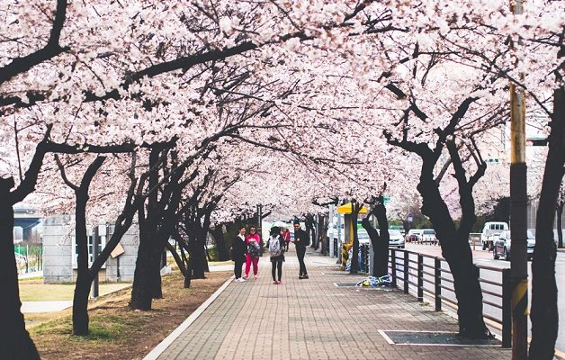 The Smart Local - Yeouido park cherry blossoms pavement view