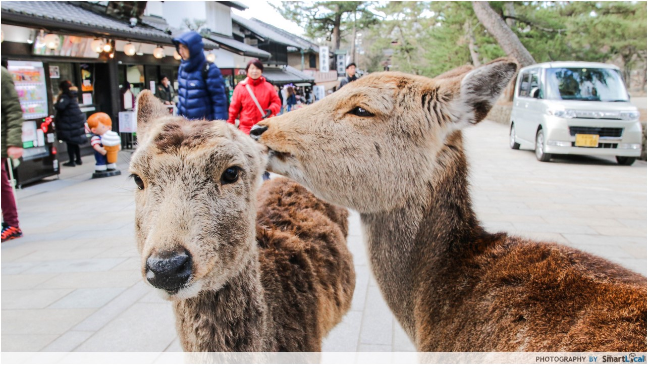 The Smart Local - Deers nibbling another deer's ear in Nara Deer Park