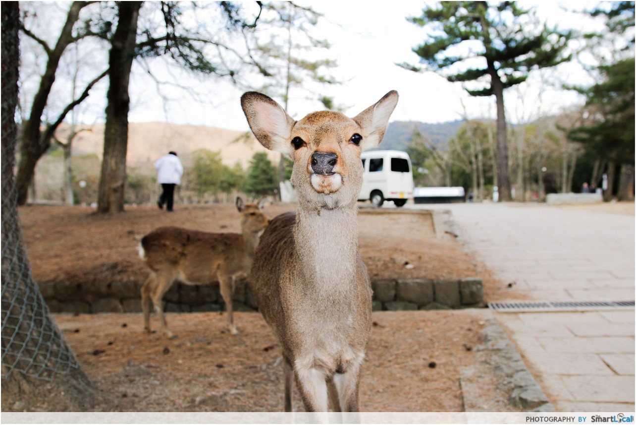 The Smart Local - Deers in Nara Deer Park