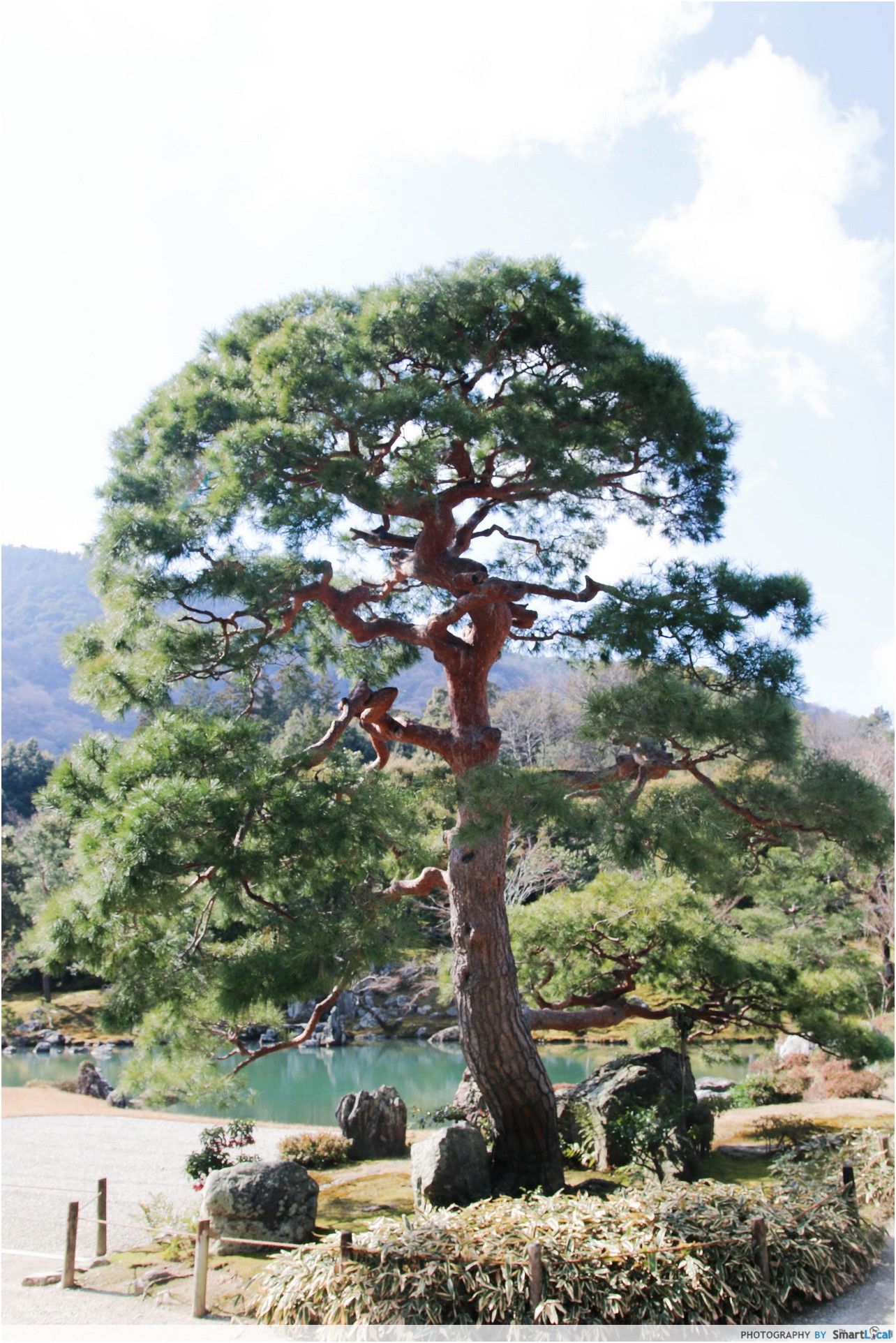 The Smart Local - Unique tree in Tenryuji Japanese Garden