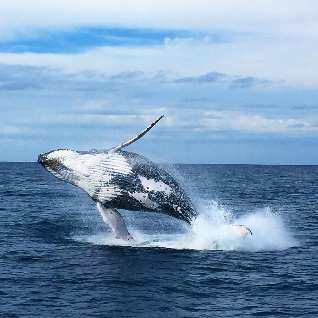 Humpback whales in Port Stephens
