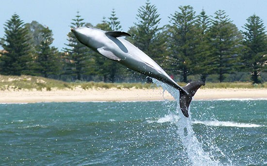 Dolphin jumping in Bunbury