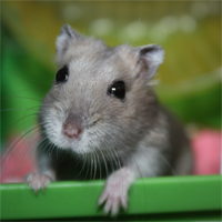 hamsters for adoption at SPCA