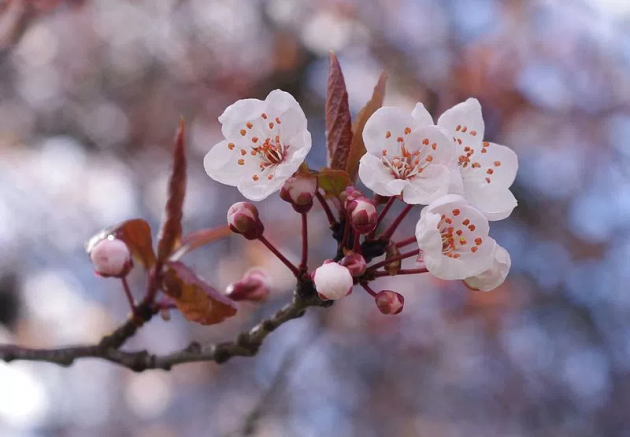 Dalian's cherry blossoms