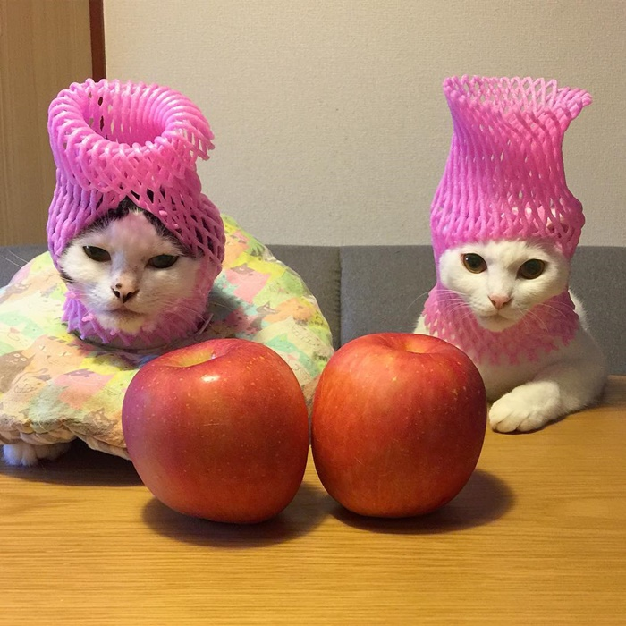 cats with apples