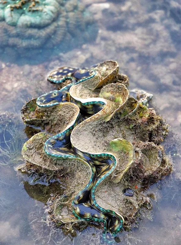 Sisters' Island Giant Clam