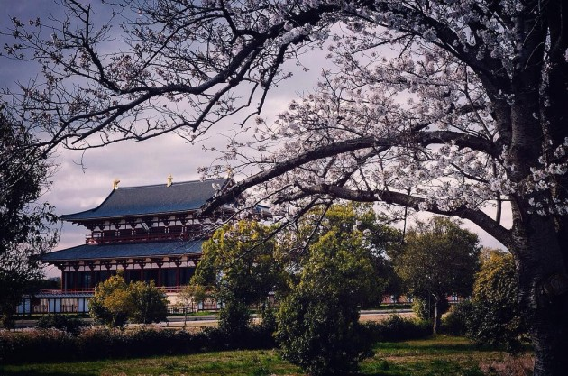 heijo palace nara cherry blossoms
