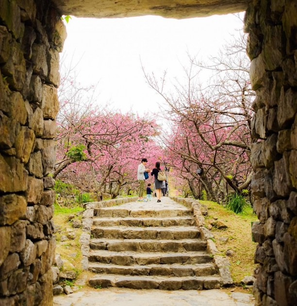 nakijin castle okinawa cherry blossoms