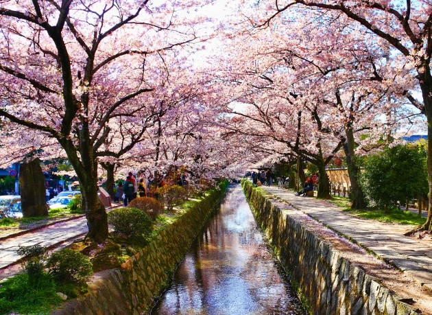 philosophers path sakura cherry blossom japan kyoto
