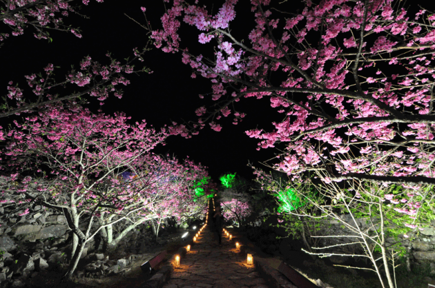 yaese park okinawa night cherry blossoms
