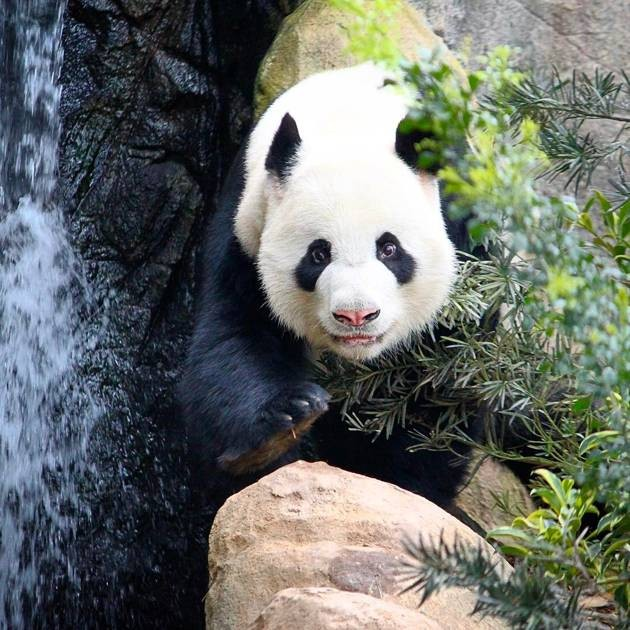 Panda at River Safari