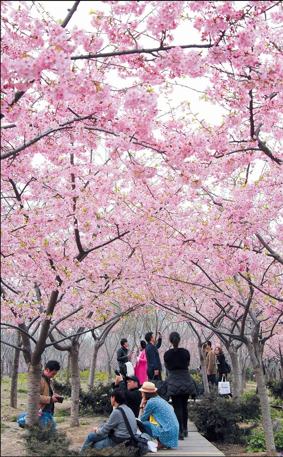 Cherry Blossoms at Gucun Park, Shanghai