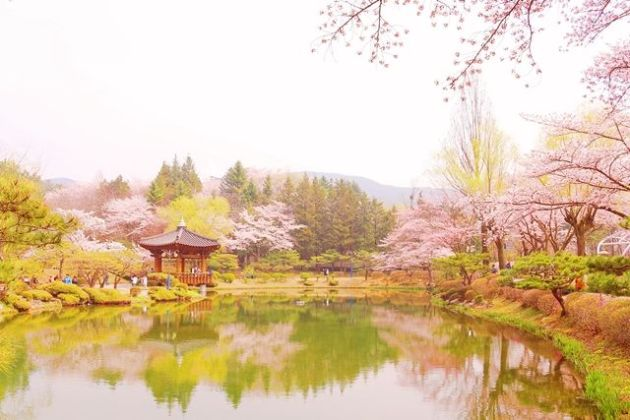 Lake with cherry blossoms, Gyeongju