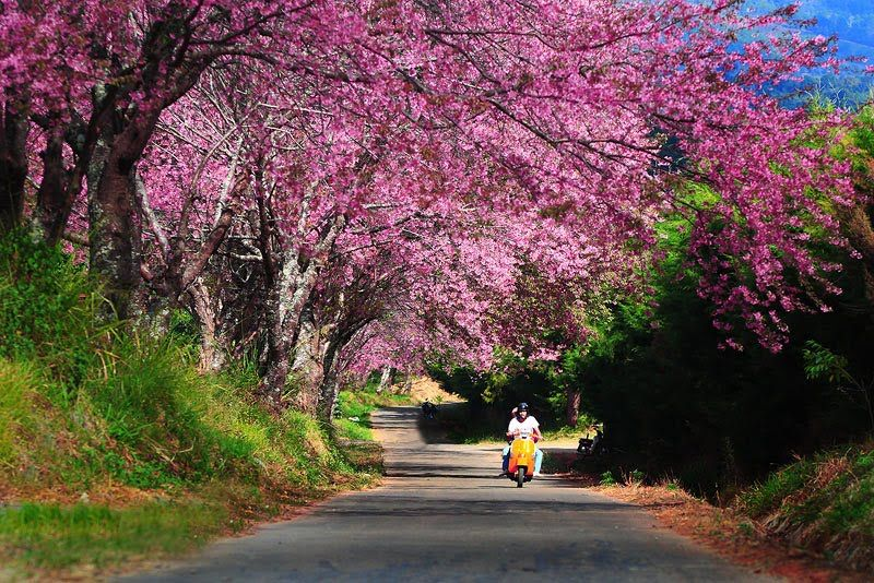 Sakura season at Khun Chang Kian, Chiang Mai
