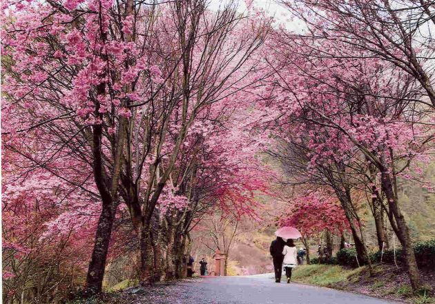 Cherry Blossoms at Wuling Farm, Taichung City