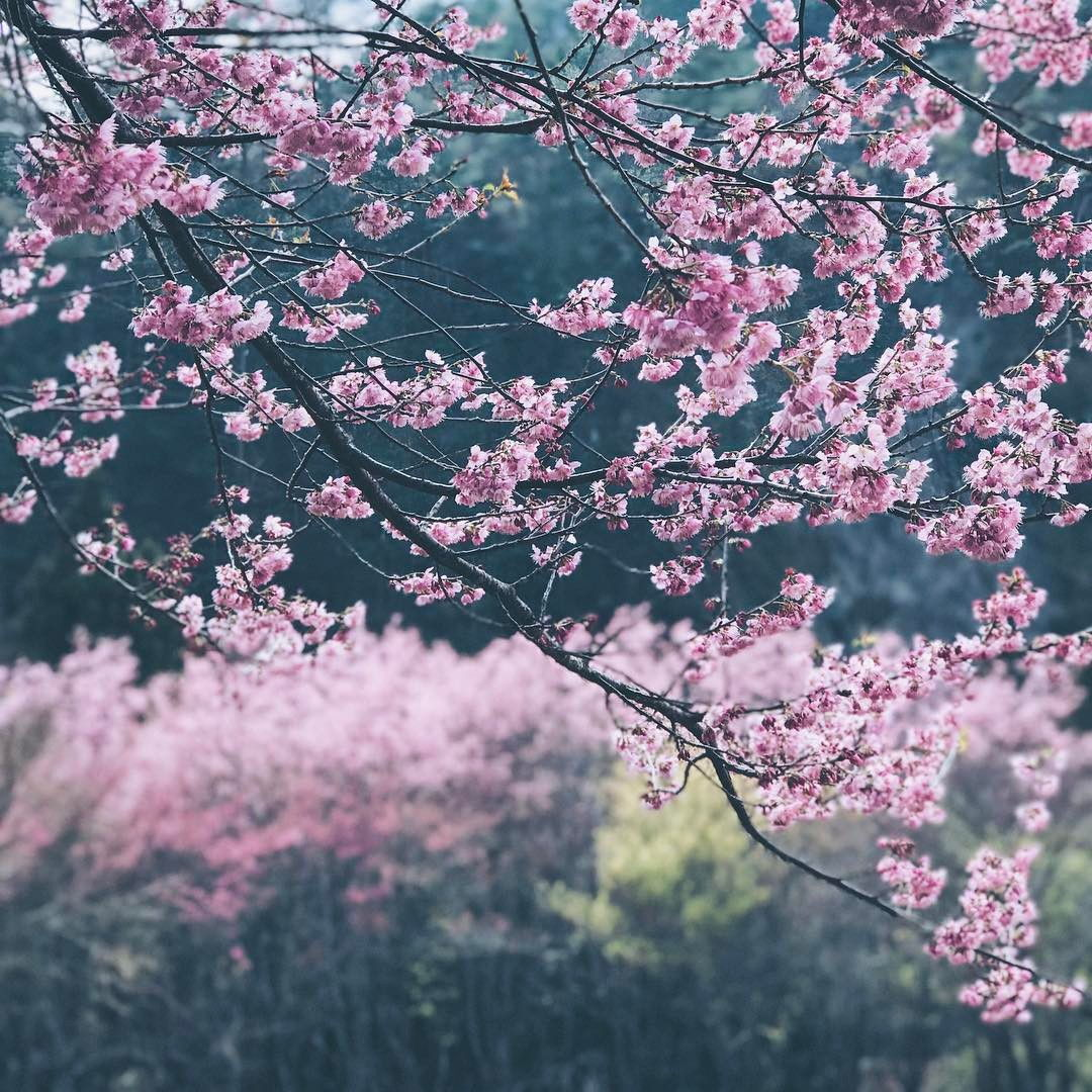 Cherry Blossom Tree, Wuling Farm