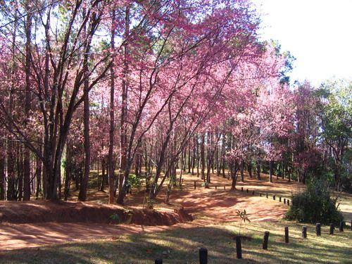 Blossom Trees at Khun Chang Kian, Chiang Mai