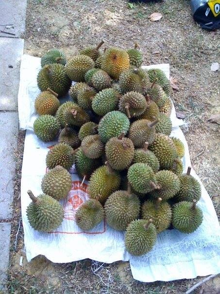Bring in a huge harvest of durians