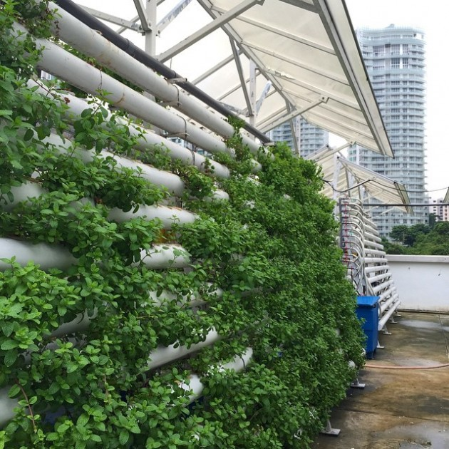 Learn how these vegetables are planted on a rooftop