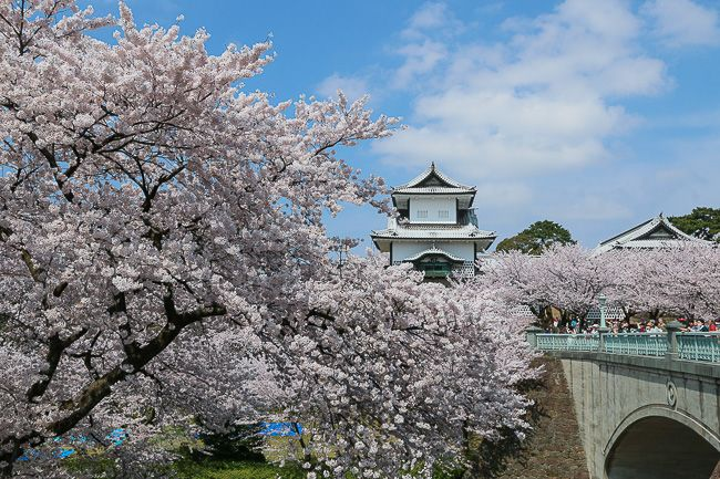Cherry blossoms blooming outside Kanazawa Castle.