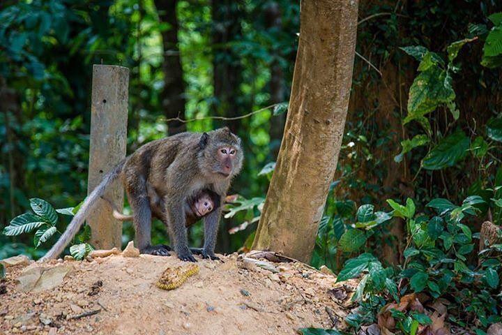 Monkeys in Koh Kood's Rainforest