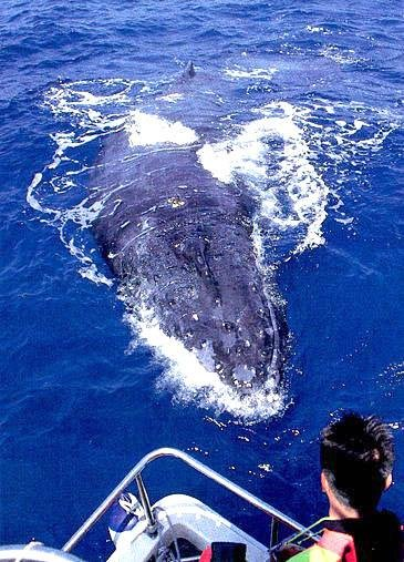 kerama islands humpback whale