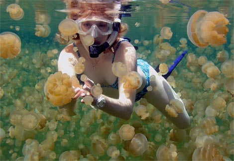 pulau kakaban indonesia stingless jellyfish