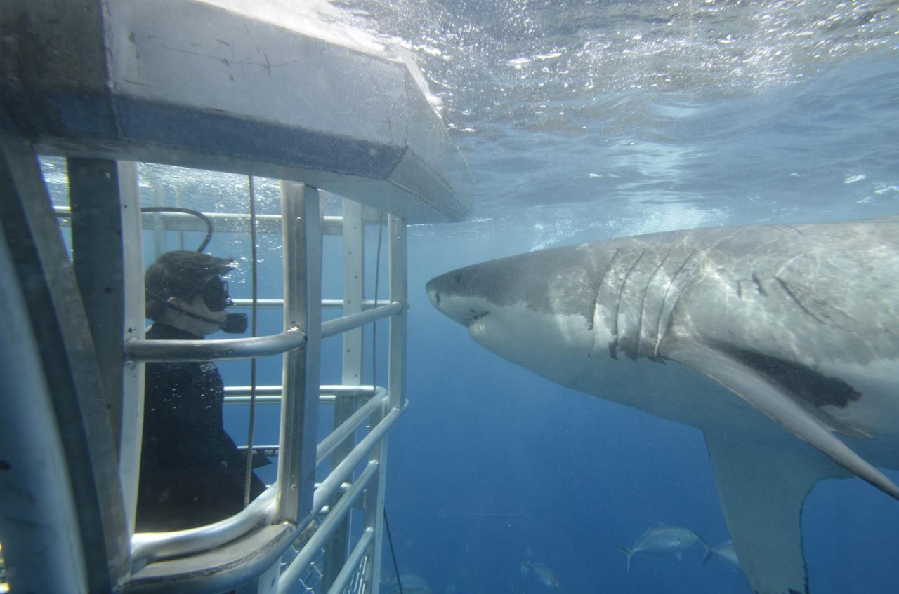 Port Lincoln cage diving with great white sharks unique things to do in adelaide hidden places in australia