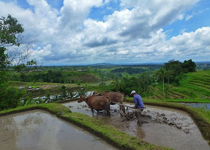 Bali Eco-Resorts - Sang Giri Buffalo