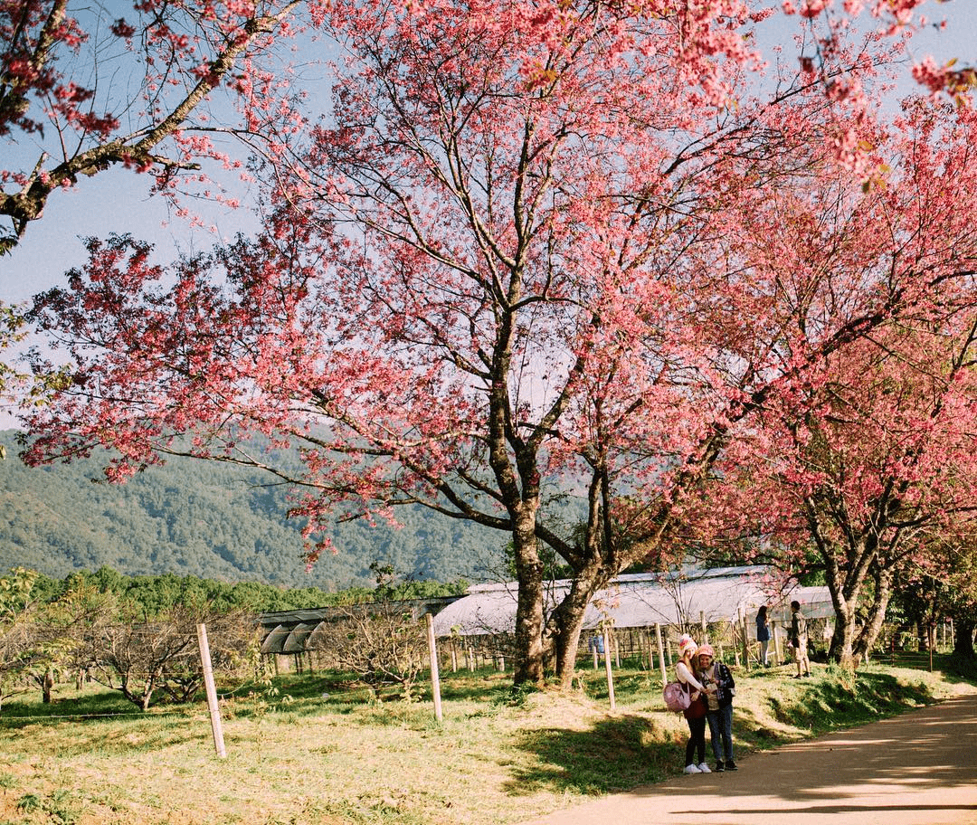 Best cherry blossoms in Thailand (10) - Khun Wang Royal Agricultural Research Centre