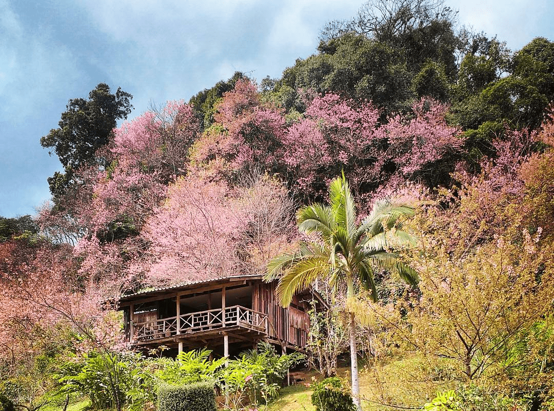 Best cherry blossoms in Thailand (2) - Khun Chang Khian Highland Agriculture Research Centre