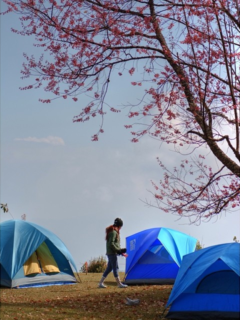 Best cherry blossoms in Thailand (9) - Khun Mae Ya campsite