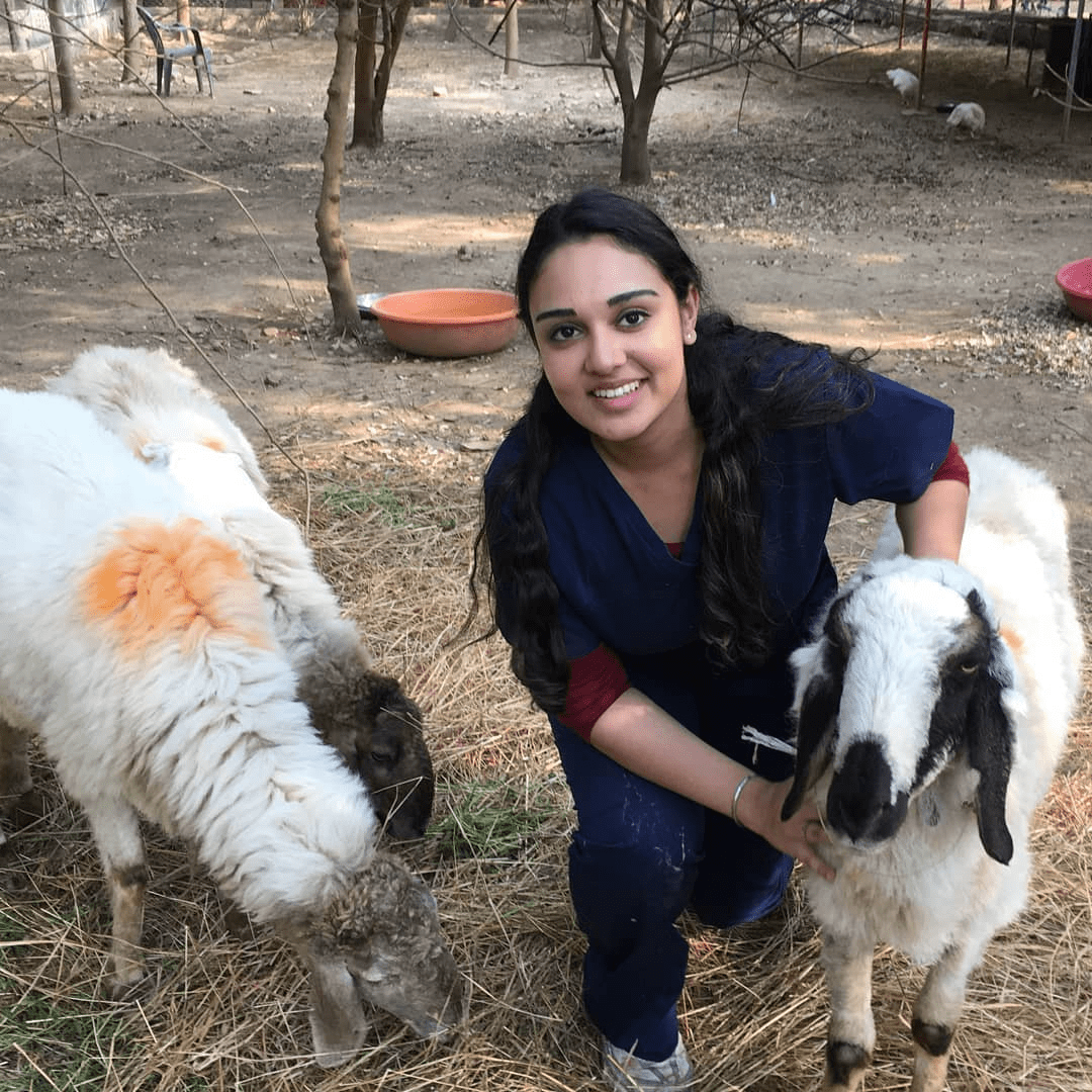 Helping at an animal rescue centre in India - goats