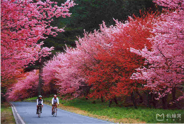 Taipingshan national forest cherry blossom