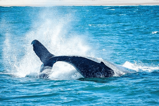Whale watching at Gold Coast
