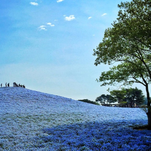 hill covered with blue flowers