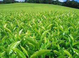 Singapore's Tea Culture