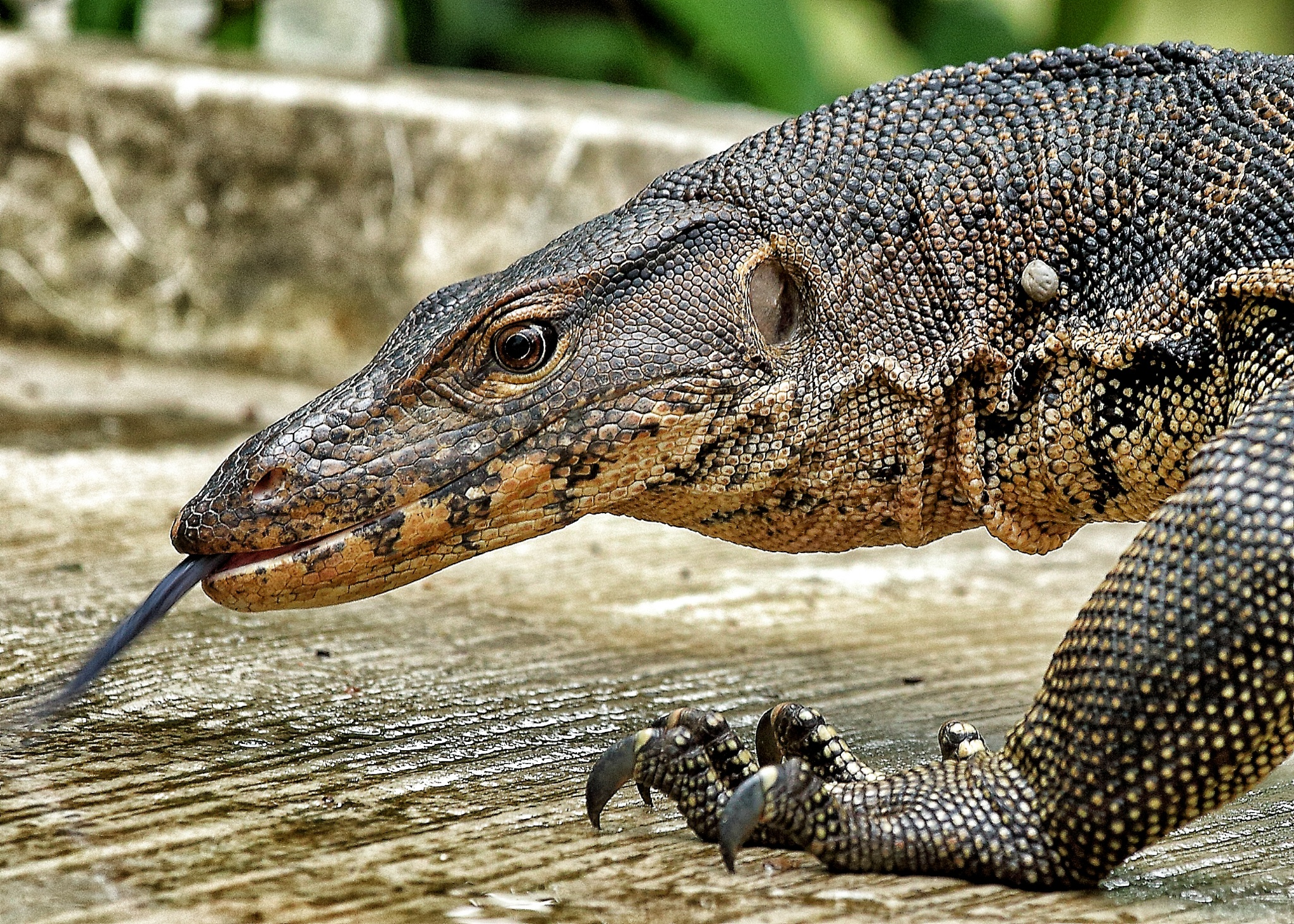 Komodo Dragon Food Chain Related Keywords - Komodo Dragon ...