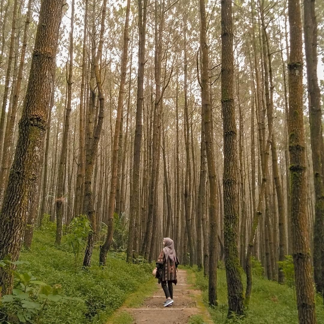 kayon pine forest in Indonesia