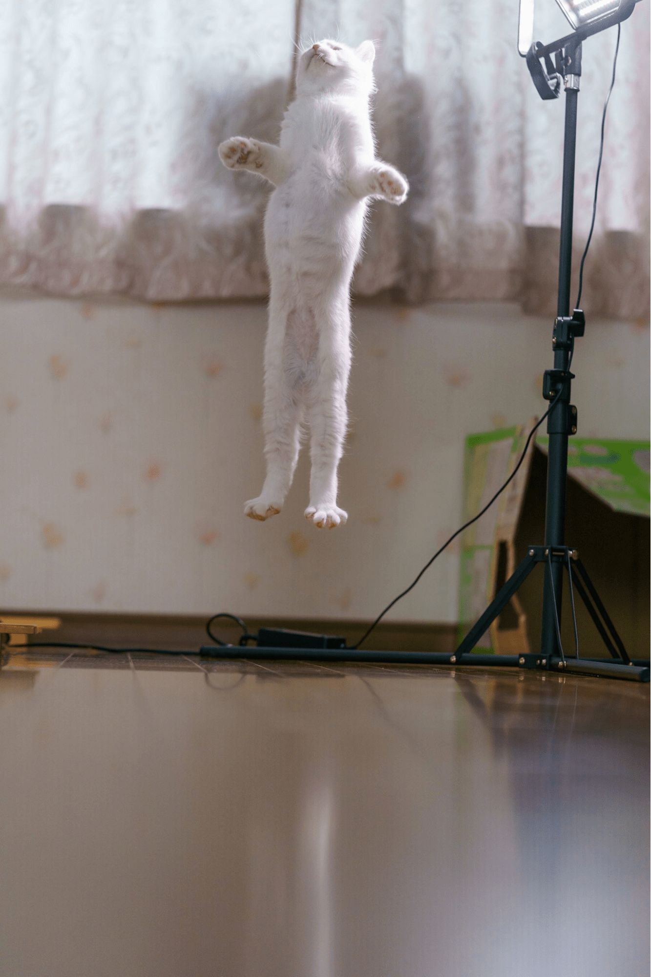 action japanese cat - defies gravity