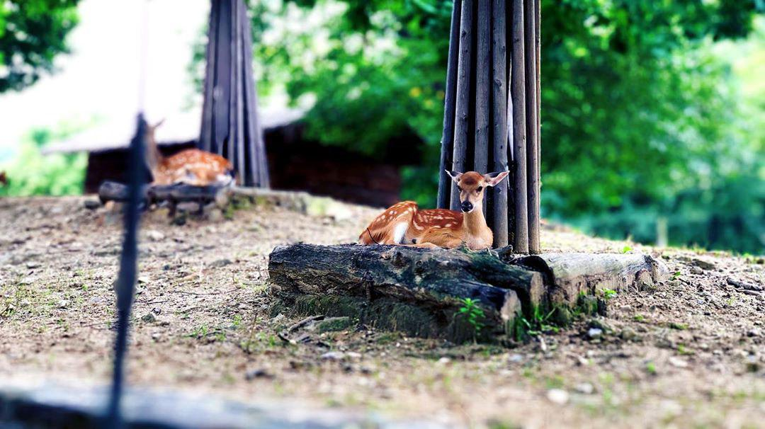 Seoul Forest deers