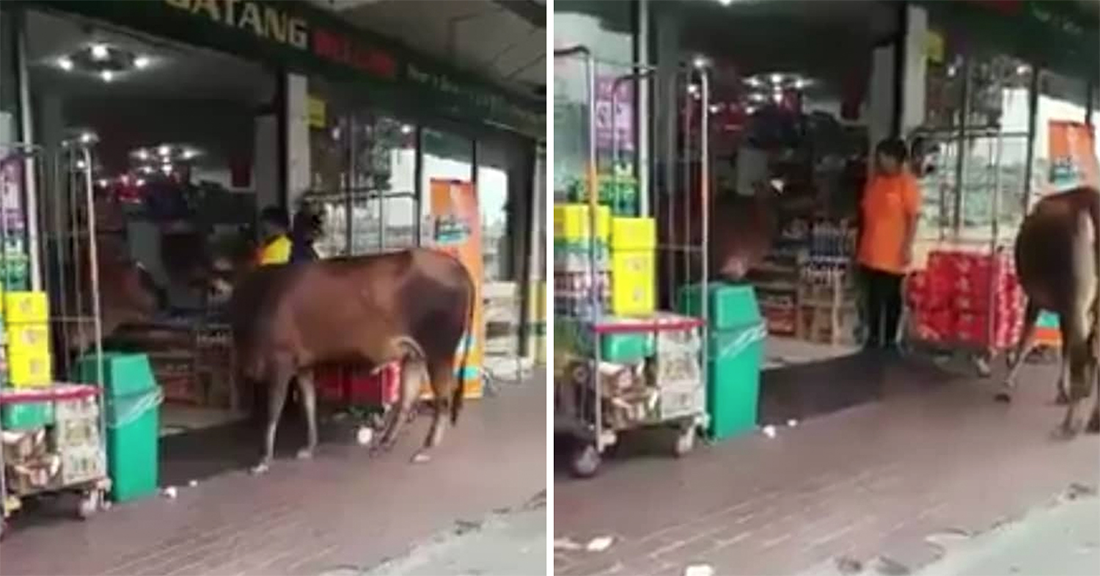 Cows spotted shopping at 99 Mart