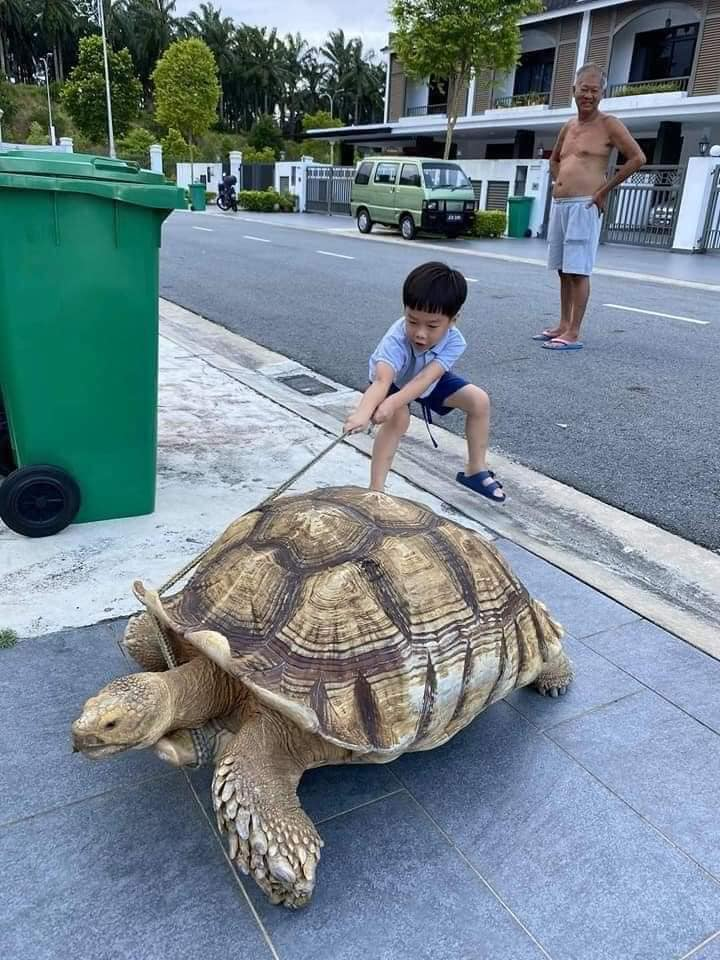 young boy tugging at tortoise's leash