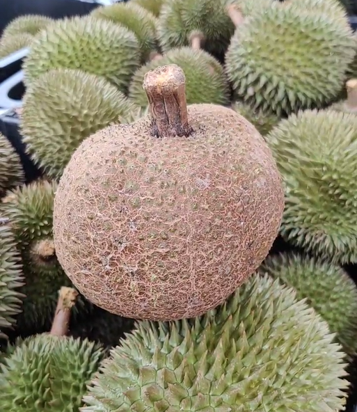 Thornless durian