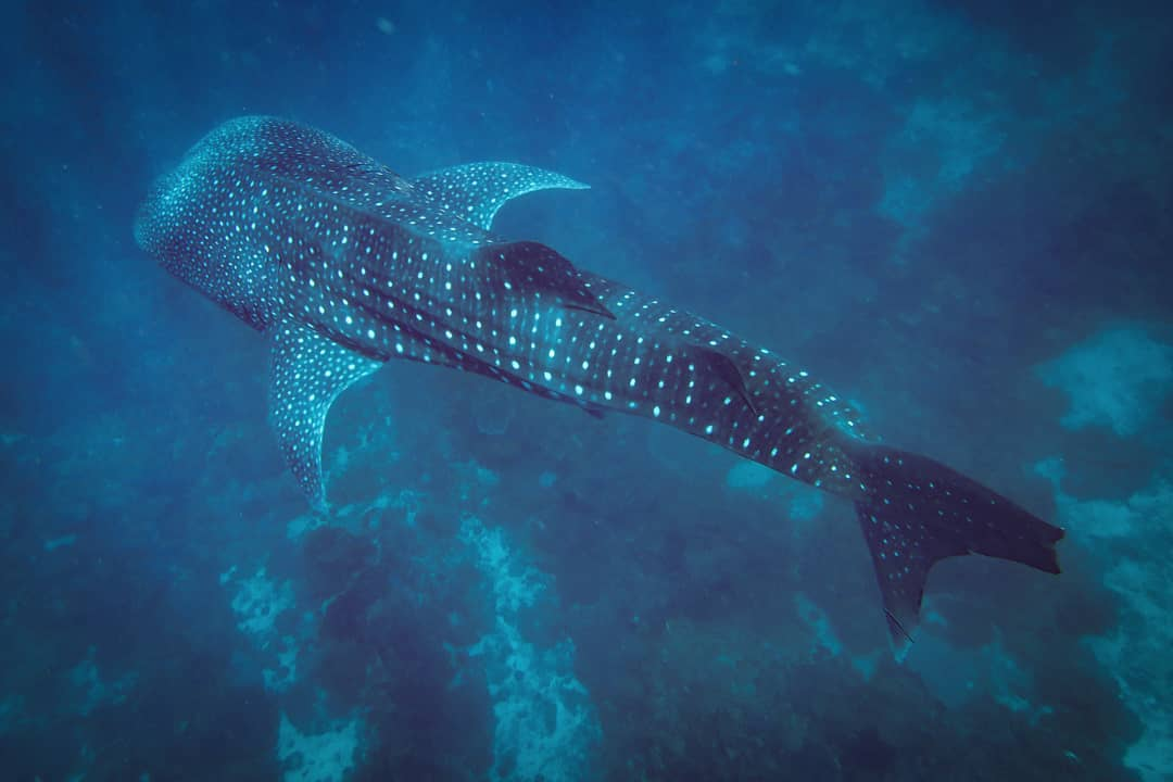 whale shark in the sea in the philippines