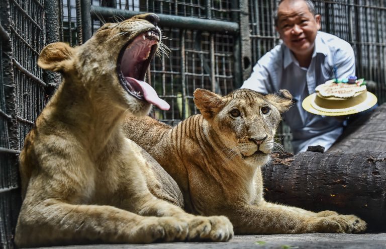 Digong the lion (left) and Malabon the lioness (right) back in 2018