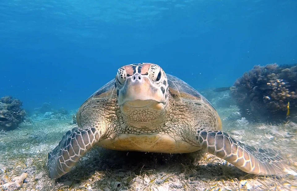 Philippine islands - Balicasag Island sea turtle
