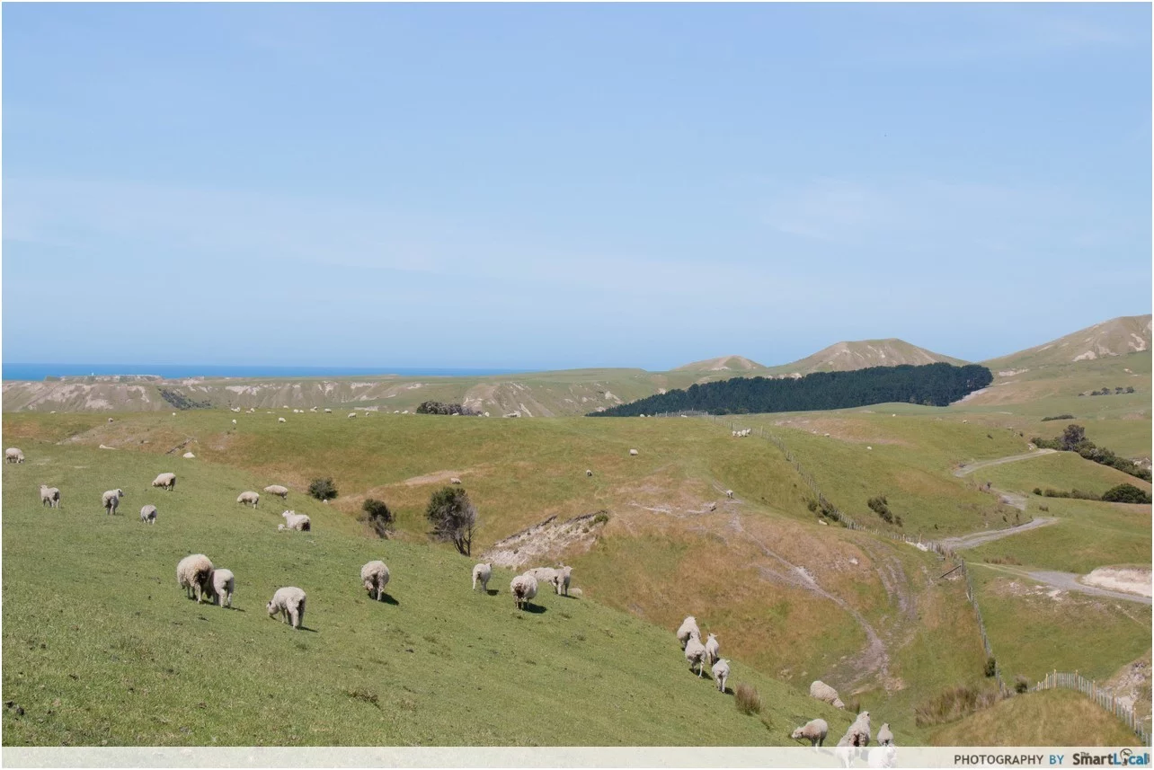 new zealand cows
